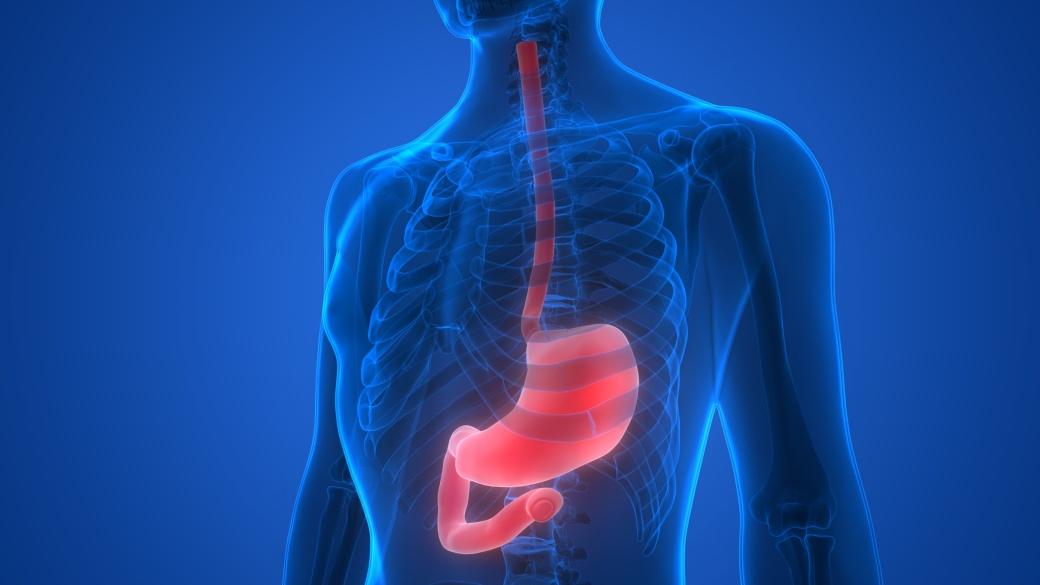 Human Body Organs (Stomach Anatomy)
